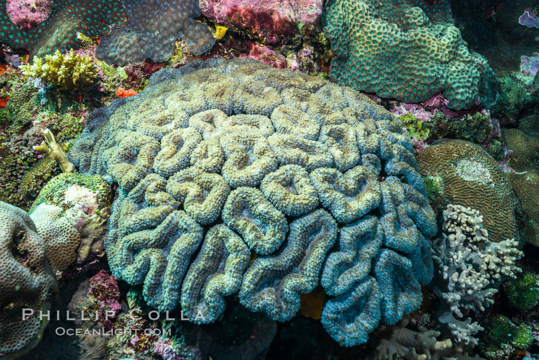 Image 31599, Favia maxima, a species of stony reef-building coral, Fiji., Phillip Colla, all rights reserved worldwide. Keywords: animalia, anthozoa, cnidaria, coral, coral reef, favia maxima, fiji, fiji islands, fijian islands, hard coral, hexacorallia, island, marine, mussidae, nature, oceania, pacific ocean, reef, scleractinia, south pacific, stony coral, tropical, underwater.