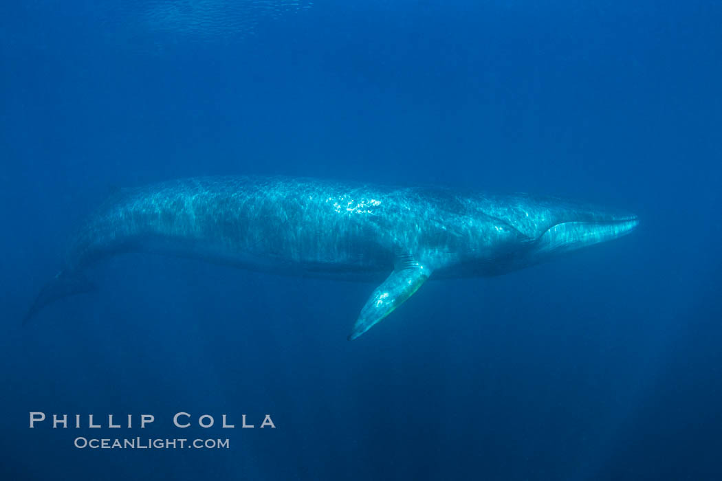 Fin whale underwater. The fin whale is the second longest and sixth most massive animal ever, reaching lengths of 88 feet., Balaenoptera physalus, natural history stock photograph, photo id 27594