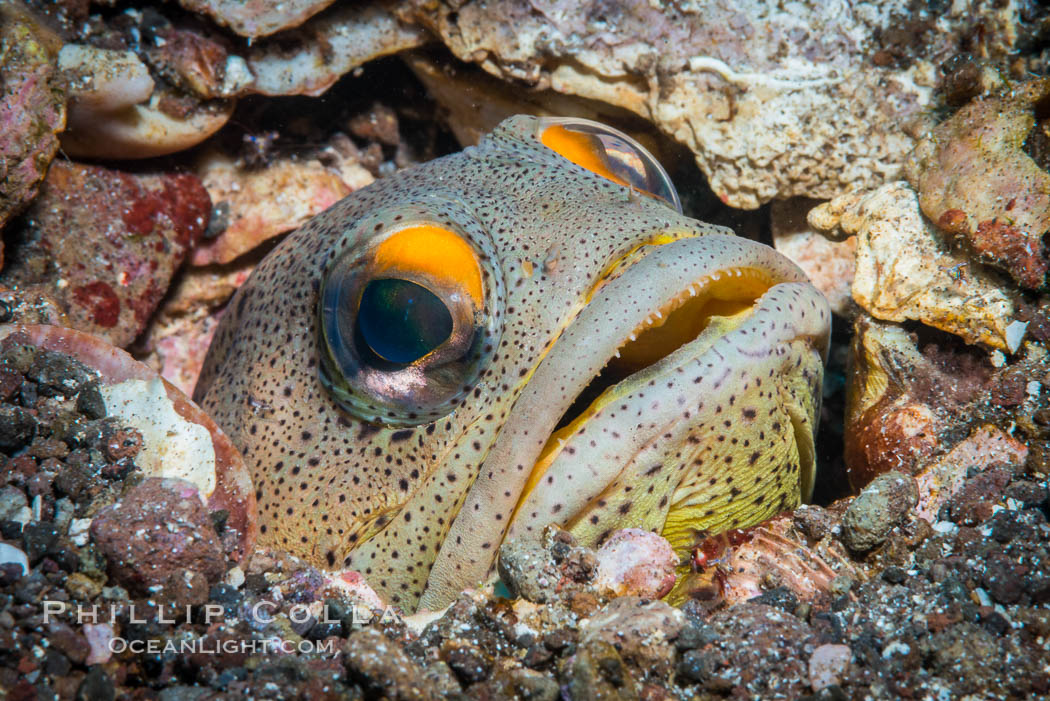 Fine Spotted Jawfish, Opistognathus punctatus, in sand and rock burrow, Sea of Cortez. Punta Alta, Baja California, Mexico, natural history stock photograph, photo id 33737