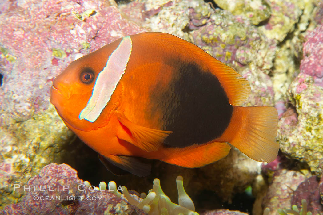 Fire clownfish., Amphiprion melanopus, natural history stock photograph, photo id 12905
