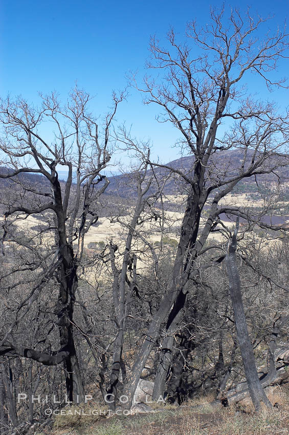 Fire damage on Stonewall Peak.  After the historic Cedar fire of 2003, much of the hills around Julian California were burnt.  One year later, new growth is seen amid the burnt oak trees and chaparral. USA, natural history stock photograph, photo id 12705