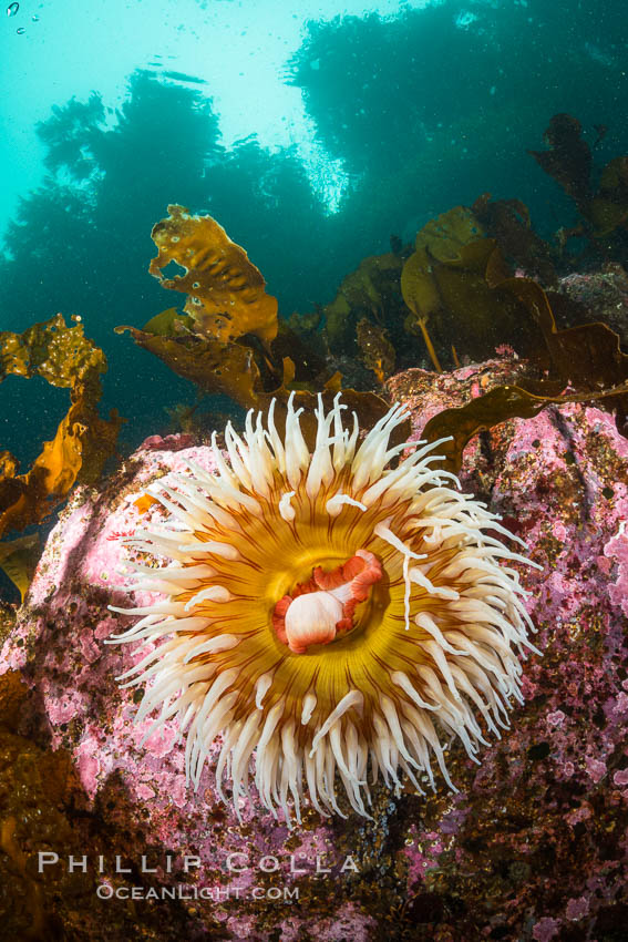 The Fish Eating Anemone Urticina piscivora, a large colorful anemone found on the rocky underwater reefs of Vancouver Island, British Columbia. Canada, Urticina piscivora, natural history stock photograph, photo id 34406