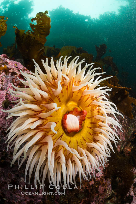 The Fish Eating Anemone Urticina piscivora, a large colorful anemone found on the rocky underwater reefs of Vancouver Island, British Columbia. Canada, Urticina piscivora, natural history stock photograph, photo id 34327