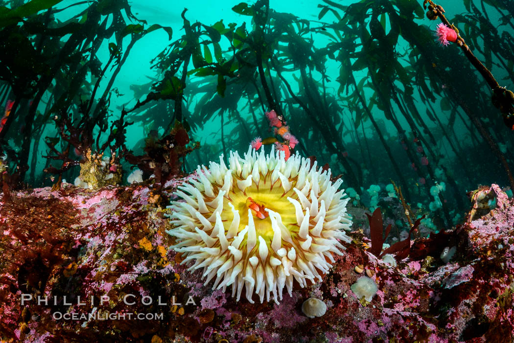 The Fish Eating Anemone Urticina piscivora, a large colorful anemone found on the rocky underwater reefs of Vancouver Island, British Columbia. Canada, Urticina piscivora, natural history stock photograph, photo id 34331