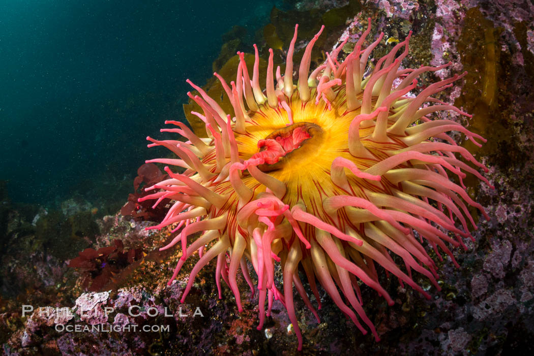 The Fish Eating Anemone Urticina piscivora, a large colorful anemone found on the rocky underwater reefs of Vancouver Island, British Columbia. British Columbia, Canada, Urticina piscivora, natural history stock photograph, photo id 34337