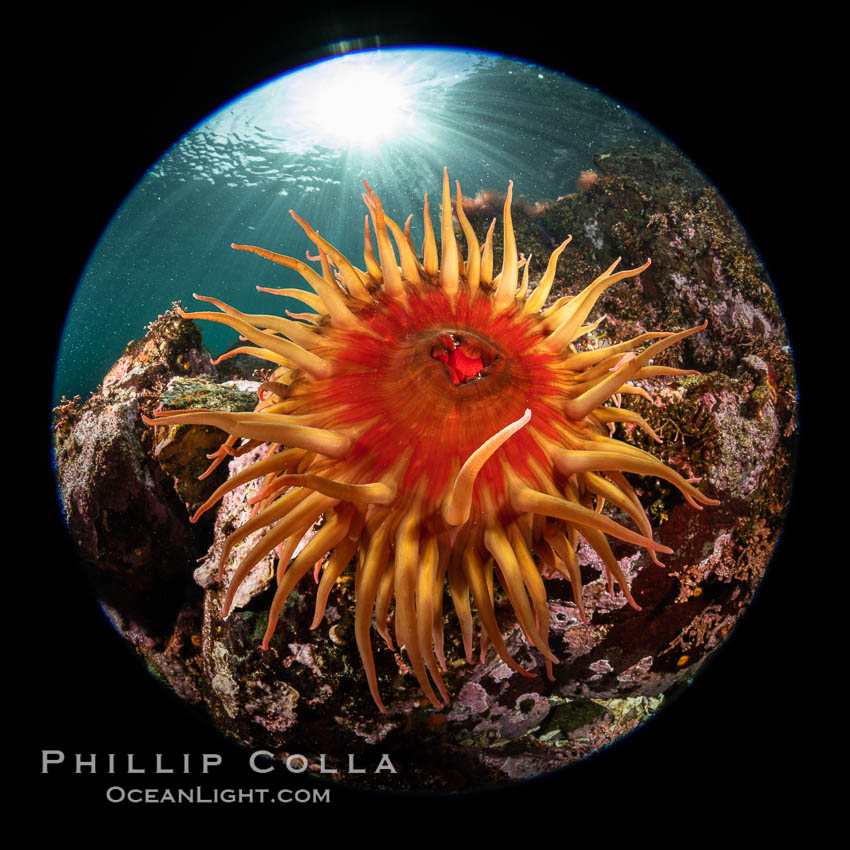Image 35338, The Fish Eating Anemone Urticina piscivora, a large colorful anemone found on the rocky underwater reefs of Vancouver Island, British Columbia. British Columbia, Canada, Urticina piscivora