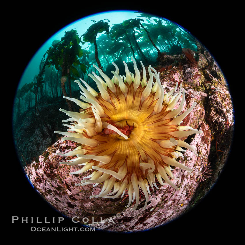 The Fish Eating Anemone Urticina piscivora, a large colorful anemone found on the rocky underwater reefs of Vancouver Island, British Columbia. Canada, Urticina piscivora, natural history stock photograph, photo id 35296