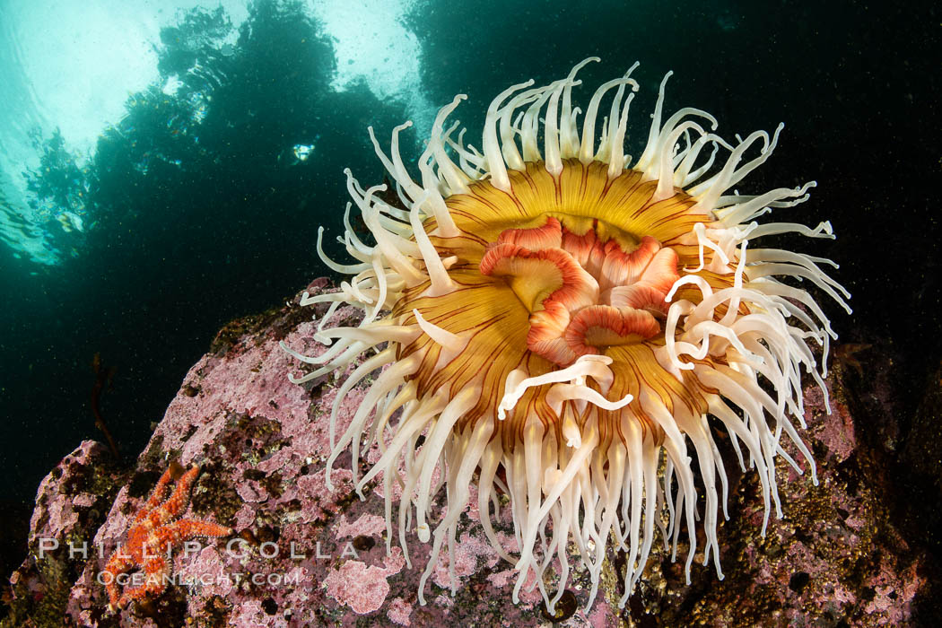 The Fish Eating Anemone Urticina piscivora, a large colorful anemone found on the rocky underwater reefs of Vancouver Island, British Columbia. Canada, Urticina piscivora, natural history stock photograph, photo id 35352