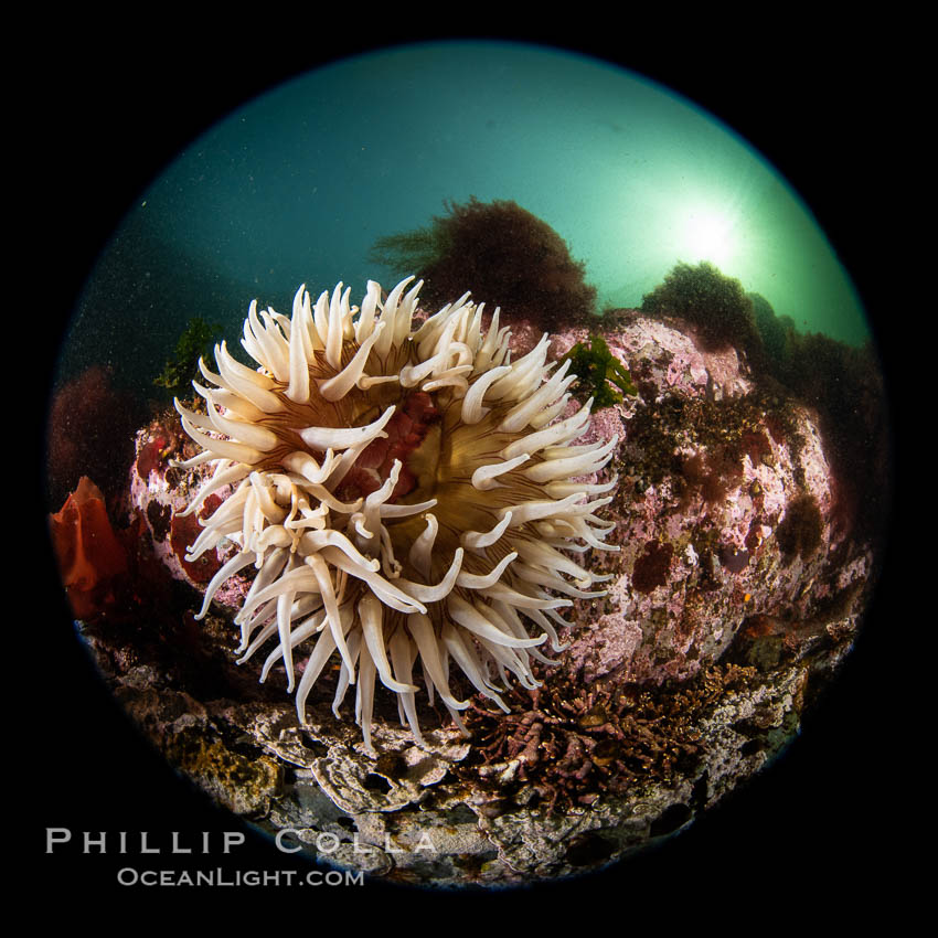 The Fish Eating Anemone Urticina piscivora, a large colorful anemone found on the rocky underwater reefs of Vancouver Island, British Columbia. Canada, Urticina piscivora, natural history stock photograph, photo id 35431