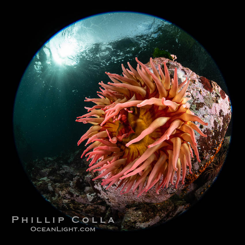 The Fish Eating Anemone Urticina piscivora, a large colorful anemone found on the rocky underwater reefs of Vancouver Island, British Columbia. Canada, Urticina piscivora, natural history stock photograph, photo id 35341