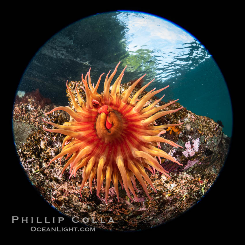 Image 35509, The Fish Eating Anemone Urticina piscivora, a large colorful anemone found on the rocky underwater reefs of Vancouver Island, British Columbia. British Columbia, Canada, Urticina piscivora, Phillip Colla, all rights reserved worldwide. Keywords: anemone, british columbia, browning pass, canada, circle, circular fisheye, cnidaria, cnidarian, fish eating anemone, fisheye, invertebrate, marine, marine invertebrate, pacific, pacific northwest, pacific ocean, queen charlotte straight, rose sea anemone, underwater, urticina piscivora, vancouver island.