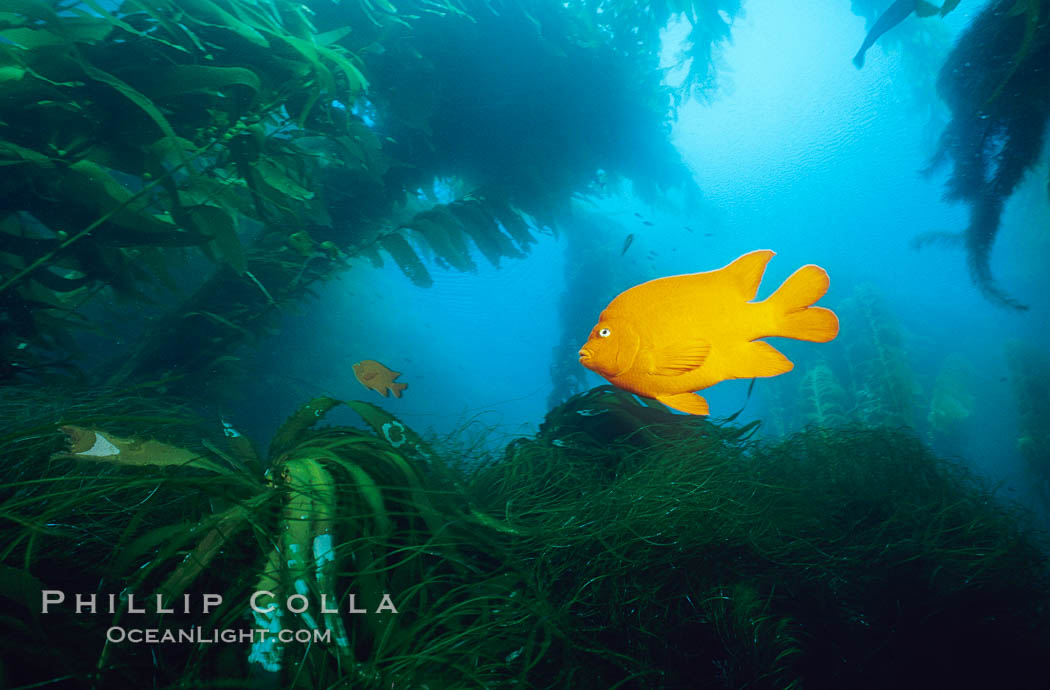 Garibaldi swimming over surfgrass in kelp forest. San Clemente Island, California, USA, Hypsypops rubicundus, Phyllospadix, Macrocystis pyrifera, natural history stock photograph, photo id 06274