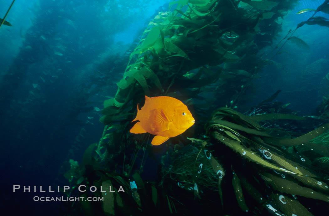 Garibaldi in kelp forest. San Clemente Island, California, USA, Hypsypops rubicundus, natural history stock photograph, photo id 06276