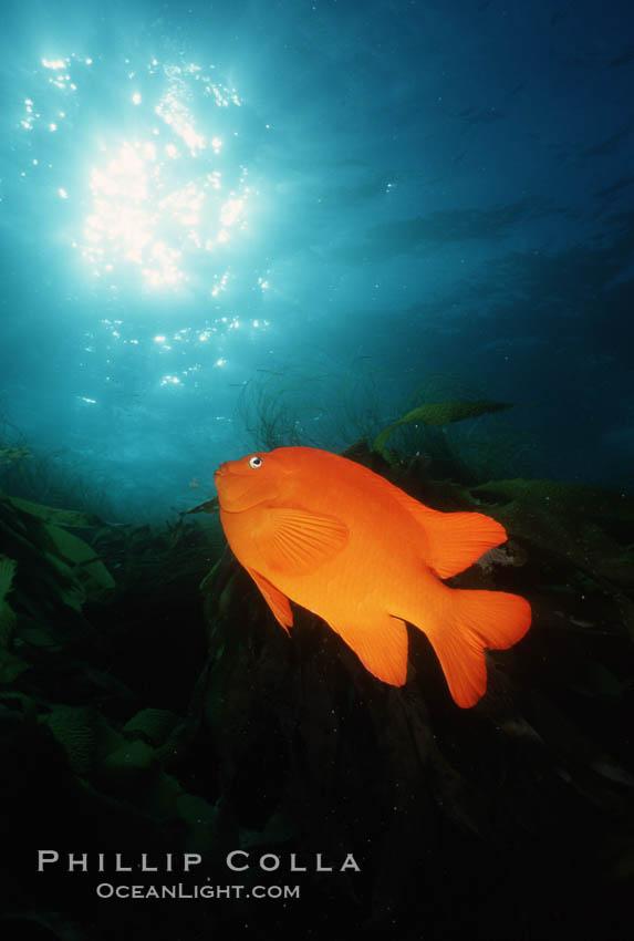 Garibaldi. San Clemente Island, California, USA, Hypsypops rubicundus, natural history stock photograph, photo id 05093