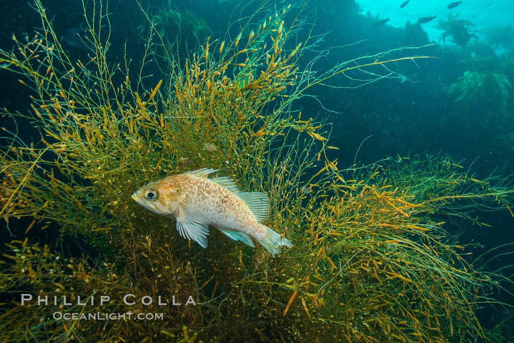Fish hiding in invasive sargassum, Sargassum horneri, San Clemente Island. San Clemente Island, California, USA, Sargassum horneri, natural history stock photograph, photo id 30874