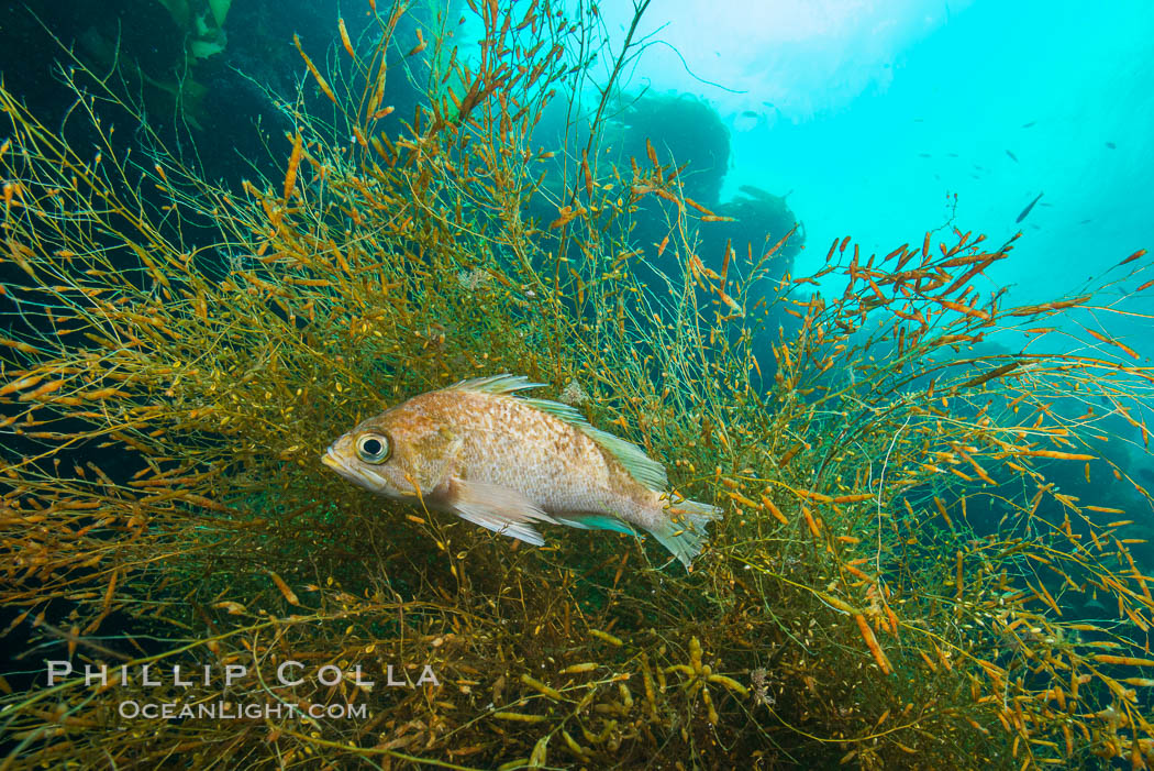 Fish hiding in invasive sargassum, Sargassum horneri, San Clemente Island. San Clemente Island, California, USA, Sargassum horneri, natural history stock photograph, photo id 30875