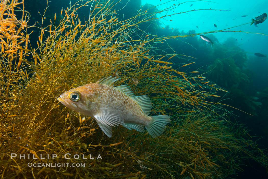 Fish hiding in invasive sargassum, Sargassum horneri, San Clemente Island. San Clemente Island, California, USA, Sargassum horneri, natural history stock photograph, photo id 30873