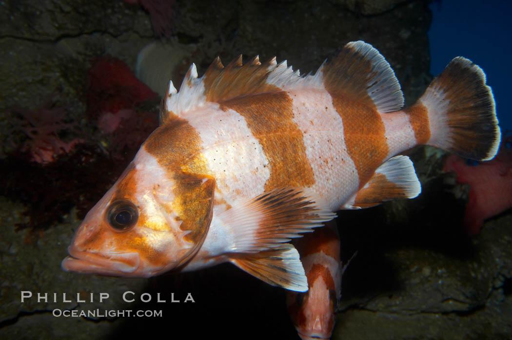 Flag rockfish., Sebastes rubrivinctus, natural history stock photograph, photo id 11786