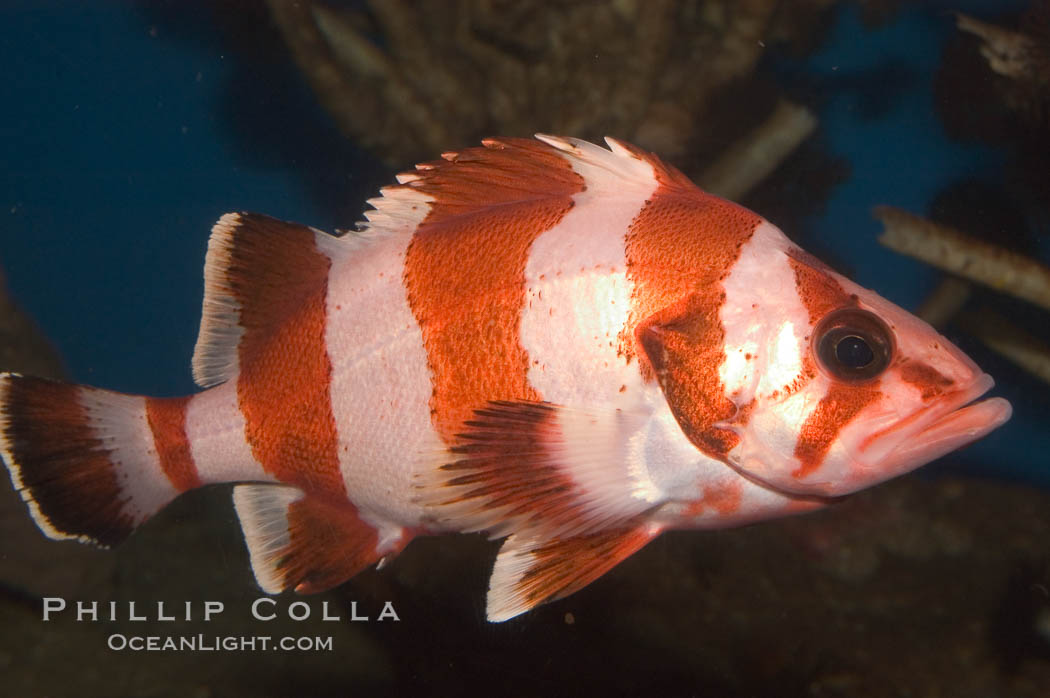 Flag rockfish., Sebastes rubrivinctus, natural history stock photograph, photo id 07865