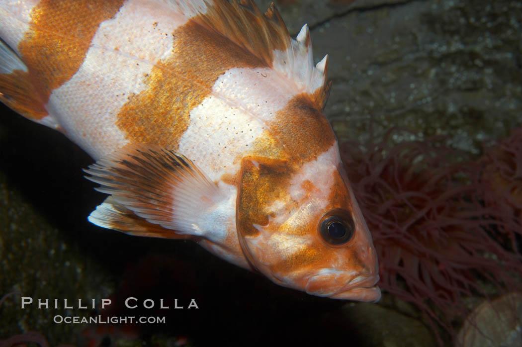 Flag rockfish., Sebastes rubrivinctus, natural history stock photograph, photo id 11790