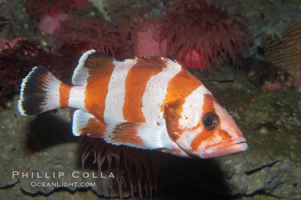 Flag rockfish., Sebastes rubrivinctus, natural history stock photograph, photo id 11784