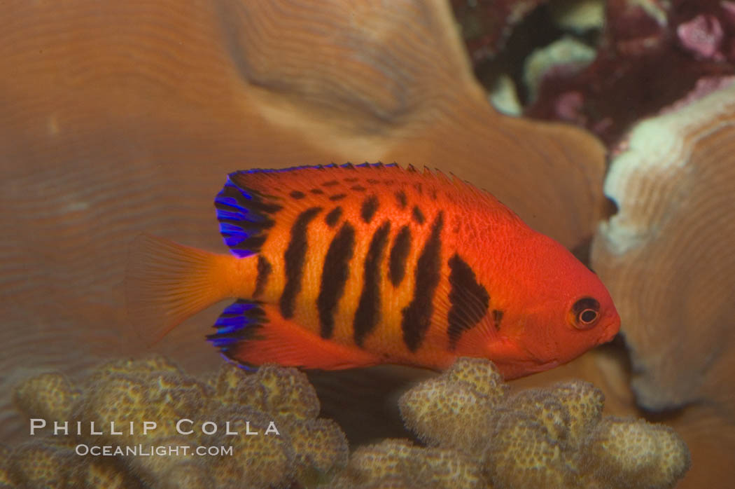 Flame angelfish., Centropyge loricula, natural history stock photograph, photo id 07860