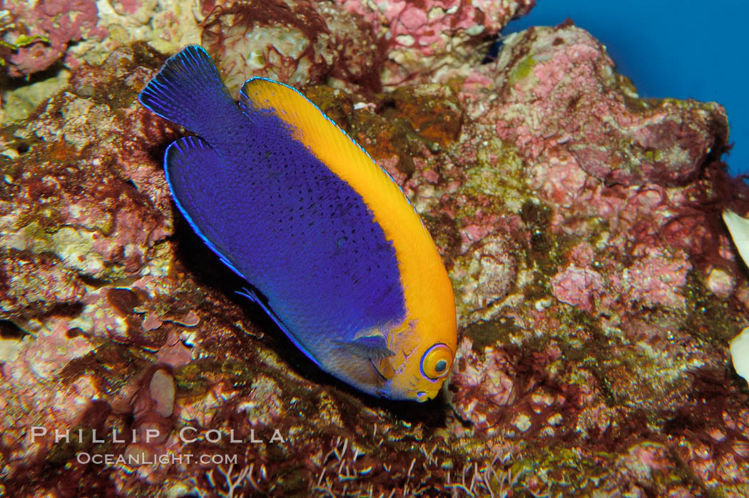 Flameback angelfish., Centropyge aurantonotus, natural history stock photograph, photo id 09448