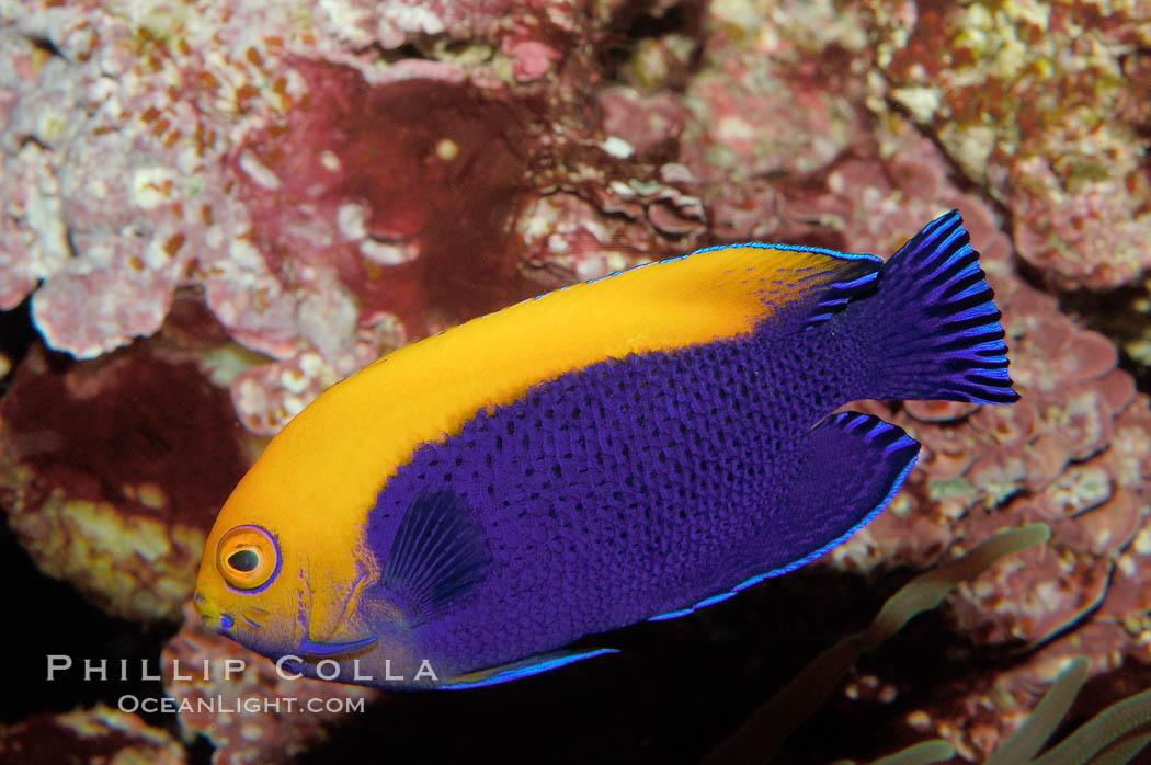 Image 09447, Flameback angelfish., Centropyge aurantonotus, Phillip Colla, all rights reserved worldwide. Keywords: angelfish, animal, centropyge aurantonotus, fish, flameback angelfish, indo-pacific, marine fish, underwater.