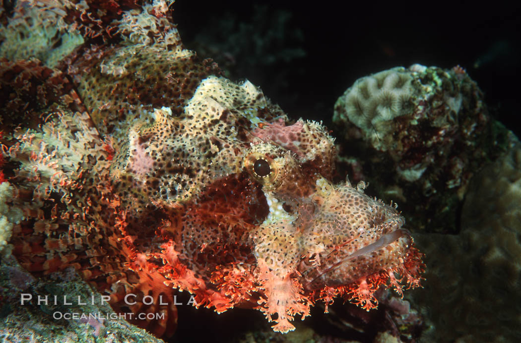 Image 05267, Flathead scorpionfish. Egyptian Red Sea, Egypt, Scorpaenopsis oxycephala