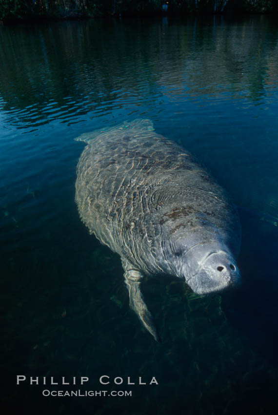 West Indian manatee, Homosassa State Park. Homosassa River, Florida, USA, Trichechus manatus, natural history stock photograph, photo id 02782