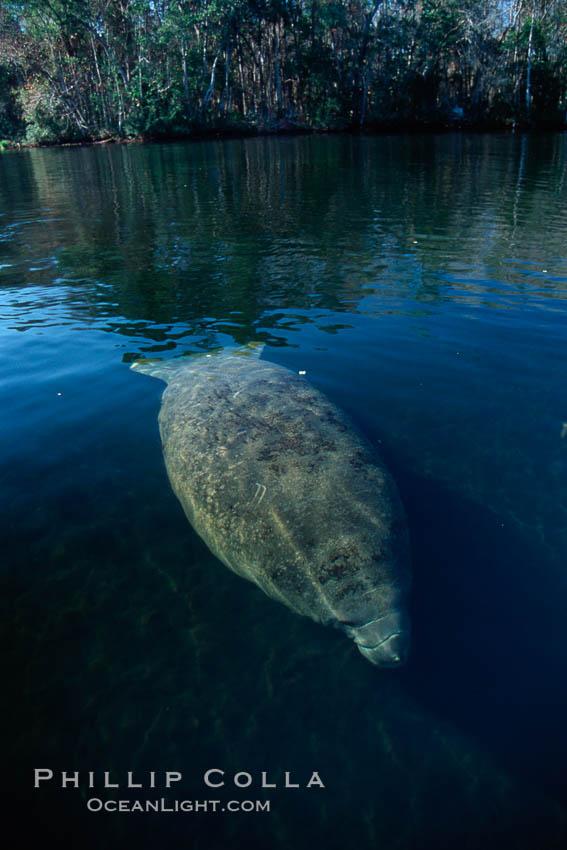 Image 02786, West Indian manatee, Homosassa State Park. Homosassa River, Homosassa, Florida, USA, Trichechus manatus