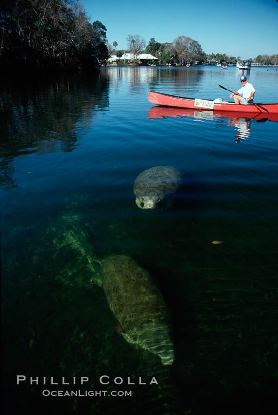 West Indian manatee and volunteer observer, Homosassa State Park. Homosassa River, Florida, USA, Trichechus manatus, natural history stock photograph, photo id 02790