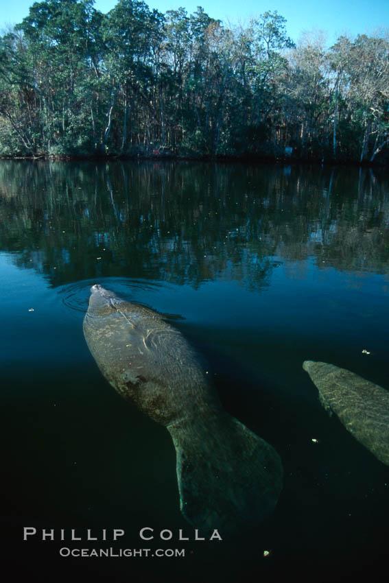West Indian manatee, Homosassa State Park. Homosassa River, Homosassa, Florida, USA, Trichechus manatus, natural history stock photograph, photo id 02772