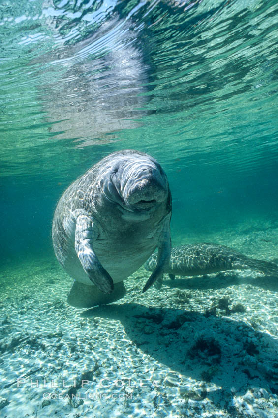 West Indian manatee at Three Sisters Springs, Florida. Crystal River, USA, Trichechus manatus, natural history stock photograph, photo id 02731