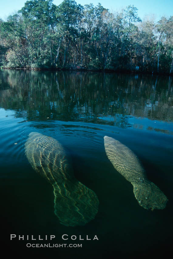 West Indian manatee, Homosassa State Park. Homosassa River, Florida, USA, Trichechus manatus, natural history stock photograph, photo id 02771