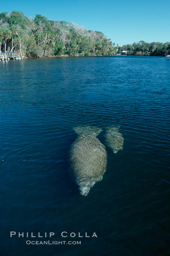 Image 06103, West Indian manatee mother and calf travel along Homosassa River. Homosassa River, Homosassa, Florida, USA, Trichechus manatus, Phillip Colla, all rights reserved worldwide. Keywords: american manatee, animal, caribbean manatee, common manatee, endangered, endangered threatened species, florida, florida manatee, homosassa, homosassa river, lamantin d'am�rique du nord, lamantin des antilles, lamantin des cara�bes, lamantino norteamericana, mammal, manatee, manat� norteamericano, marine, marine mammal, north american manatee, ocean, river, sirenian, spring river, trichechus manatus, usa, water, west indian manatee, wildlife.