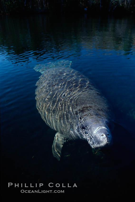 Image 02781, West Indian manatee, Homosassa State Park. Homosassa River, Homosassa, Florida, USA, Trichechus manatus, Phillip Colla, all rights reserved worldwide. Keywords: american manatee, animal, caribbean manatee, common manatee, endangered, endangered threatened species, florida, florida manatee, homosassa, homosassa river, lamantin d'am�rique du nord, lamantin des antilles, lamantin des cara�bes, lamantino norteamericana, mammal, manatee, manat� norteamericano, marine, marine mammal, north american manatee, ocean, sirenian, spring river, trichechus manatus, usa, west indian manatee, wildlife.