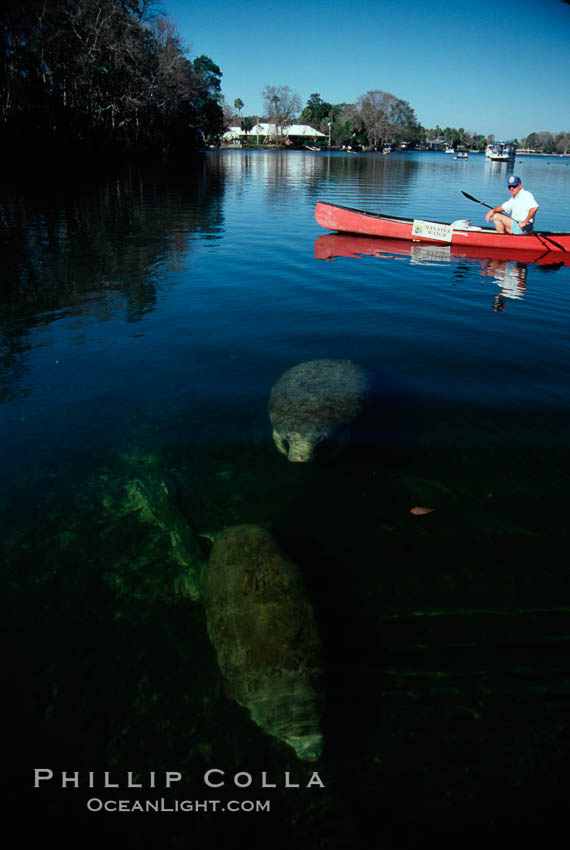 West Indian manatee and volunteer observer, Homosassa State Park. Homosassa River, Homosassa, Florida, USA, Trichechus manatus, natural history stock photograph, photo id 02789