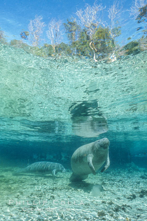 Florida Manatee at Three Sisters Springs, Crystal River, Florida. USA, Trichechus manatus, natural history stock photograph, photo id 36339