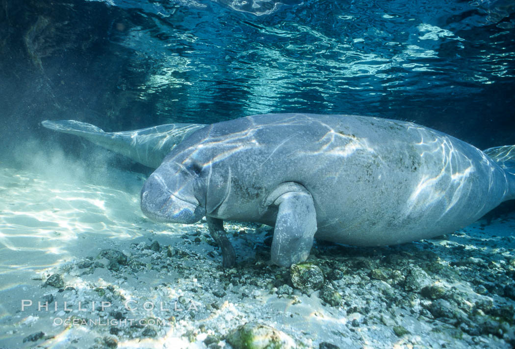 Florida Manatee at Three Sisters Springs, Crystal River, Florida. USA, Trichechus manatus, natural history stock photograph, photo id 36325