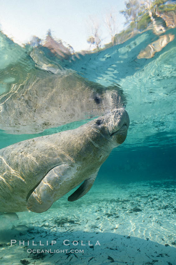 A Florida manatee surfaces to breathe, at Three Sisters Springs, Crystal River, Florida. USA, Trichechus manatus, natural history stock photograph, photo id 36326