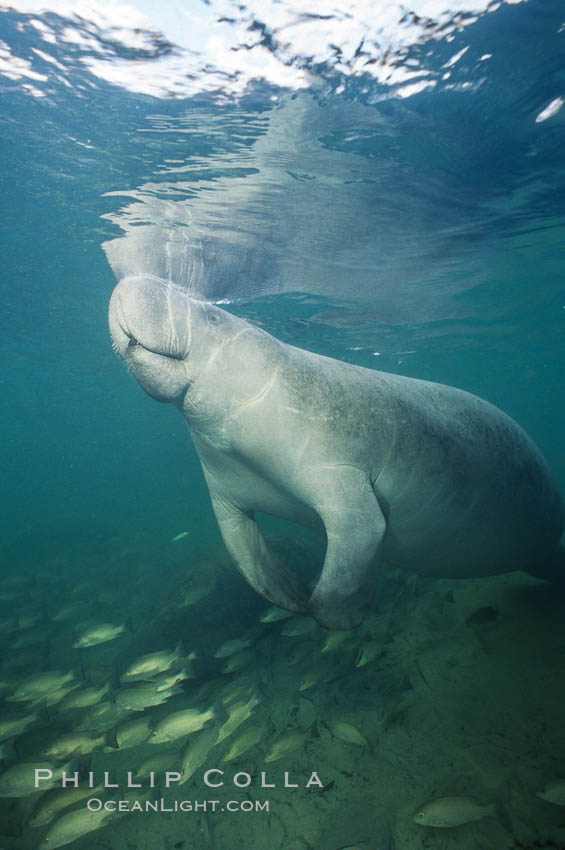 A Florida manatee surfaces to breathe, at Three Sisters Springs, Crystal River, Florida. USA, Trichechus manatus, natural history stock photograph, photo id 36332
