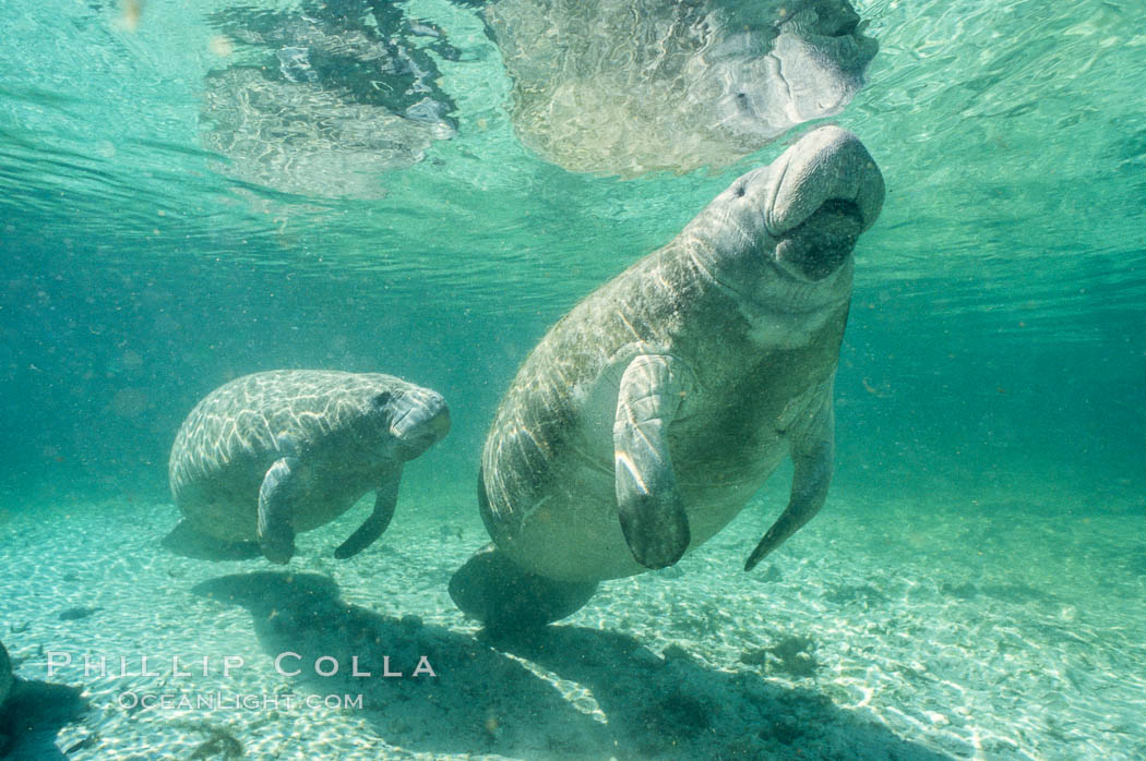 A Florida manatee surfaces to breathe, at Three Sisters Springs, Crystal River, Florida. USA, Trichechus manatus, natural history stock photograph, photo id 36336
