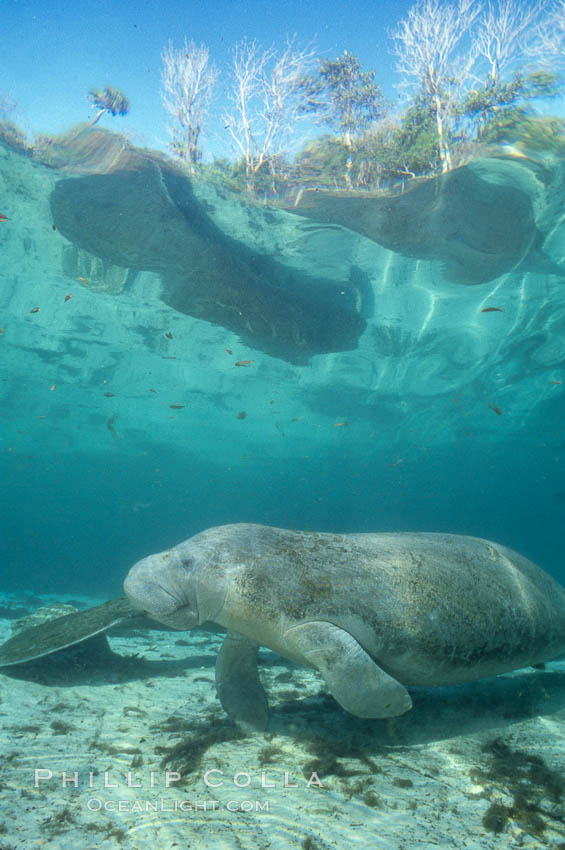 West Indian manatee at Three Sisters Springs, Florida. Crystal River, USA, Trichechus manatus, natural history stock photograph, photo id 02660