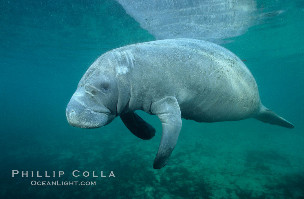 A Florida manatee, or West Indian Manatee, swims slowly through the clear waters of Crystal River. Three Sisters Springs, USA, Trichechus manatus, natural history stock photograph, photo id 02696