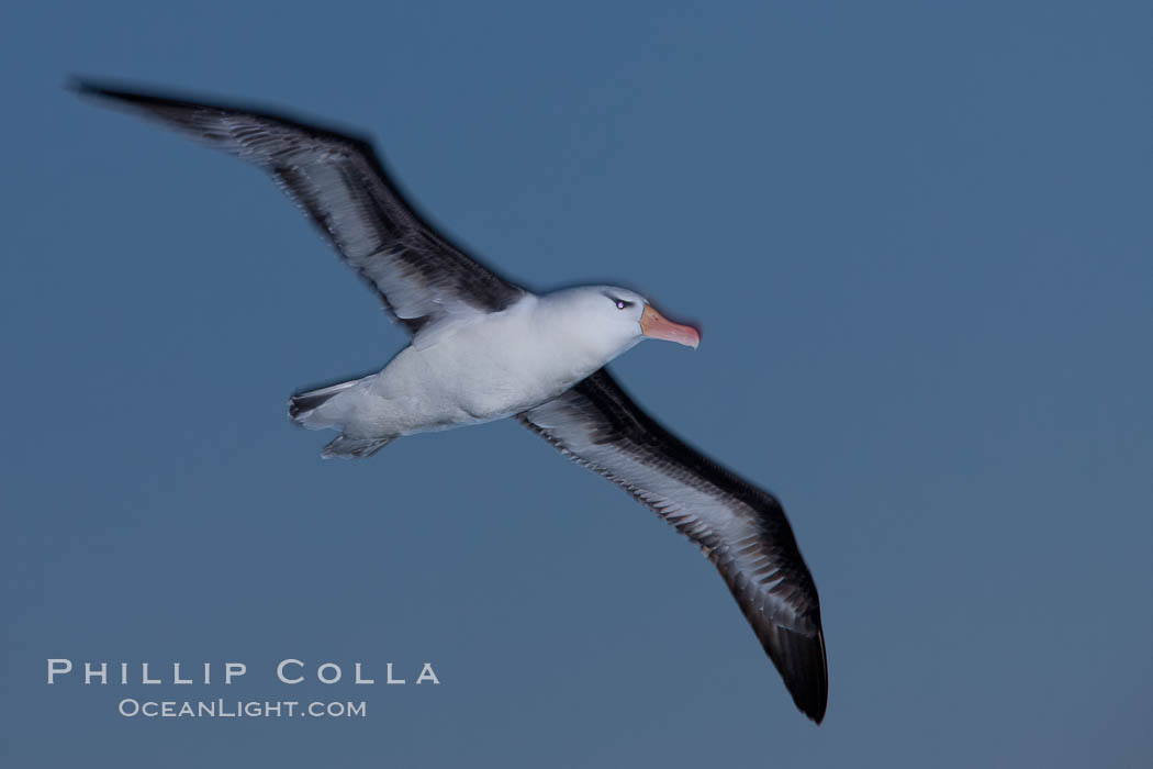 "Black-browed albatross in flight, at sea.  The black-browed albatross is a medium-sized seabird at 31-37"" long with a 79-94"" wingspan and an average weight of 6.4-10 lb. They have a natural lifespan exceeding 70 years. They breed on remote oceanic islands and are circumpolar, ranging throughout the Southern Oceanic. Falkland Islands, United Kingdom, Thalassarche melanophrys, natural history stock photograph, photo id 23990"