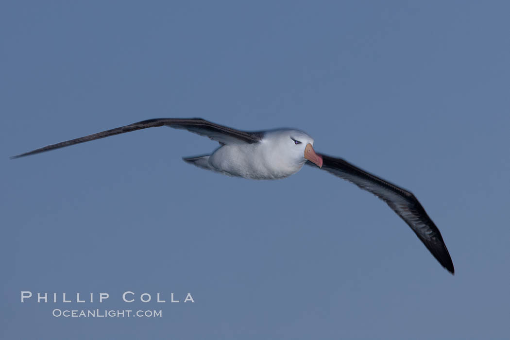 """Black-browed albatross in flight, at sea.  The black-browed albatross is a medium-sized seabird at 31-37"""" long with a 79-94"""" wingspan and an average weight of 6.4-10 lb. They have a natural lifespan exceeding 70 years. They breed on remote oceanic islands and are circumpolar, ranging throughout the Southern Oceanic. Falkland Islands, United Kingdom, Thalassarche melanophrys, natural history stock photograph, photo id 24020"""