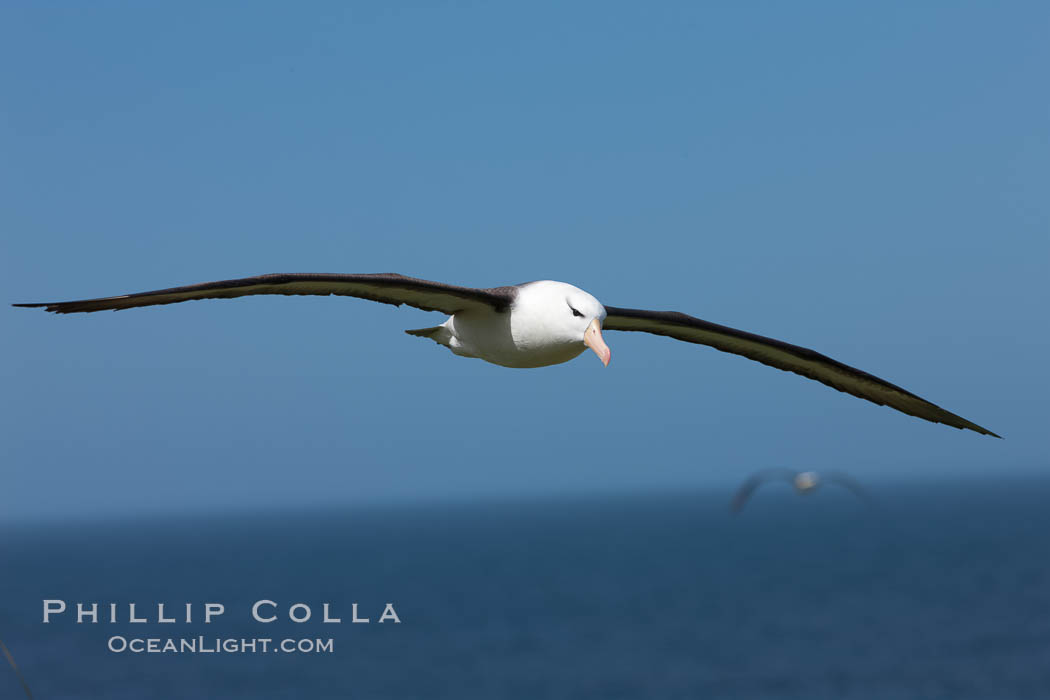 Black-browed albatross in flight, against a blue sky.  Black-browed albatrosses have a wingspan reaching up to 8', weigh up to 10 lbs and can live 70 years.  They roam the open ocean for food and return to remote islands for mating and rearing their chicks. Steeple Jason Island, Falkland Islands, United Kingdom, Thalassarche melanophrys, natural history stock photograph, photo id 24236