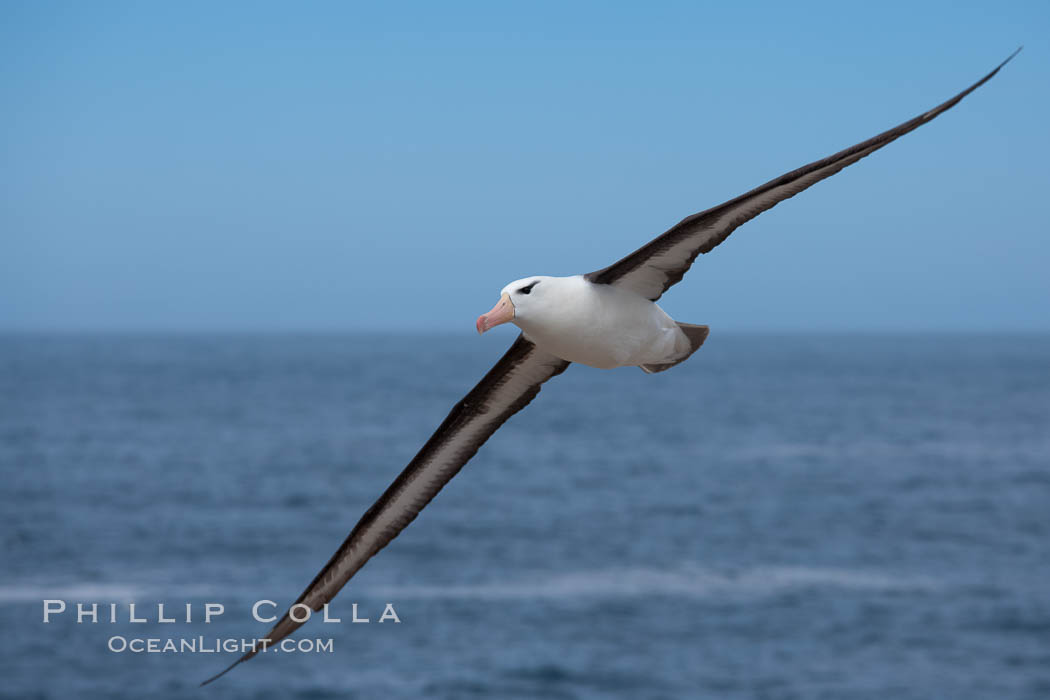 Black-browed albatross, in flight over the ocean.  The wingspan of the black-browed albatross can reach 10', it can weigh up to 10 lbs and live for as many as 70 years. Steeple Jason Island, Falkland Islands, United Kingdom, Thalassarche melanophrys, natural history stock photograph, photo id 24107