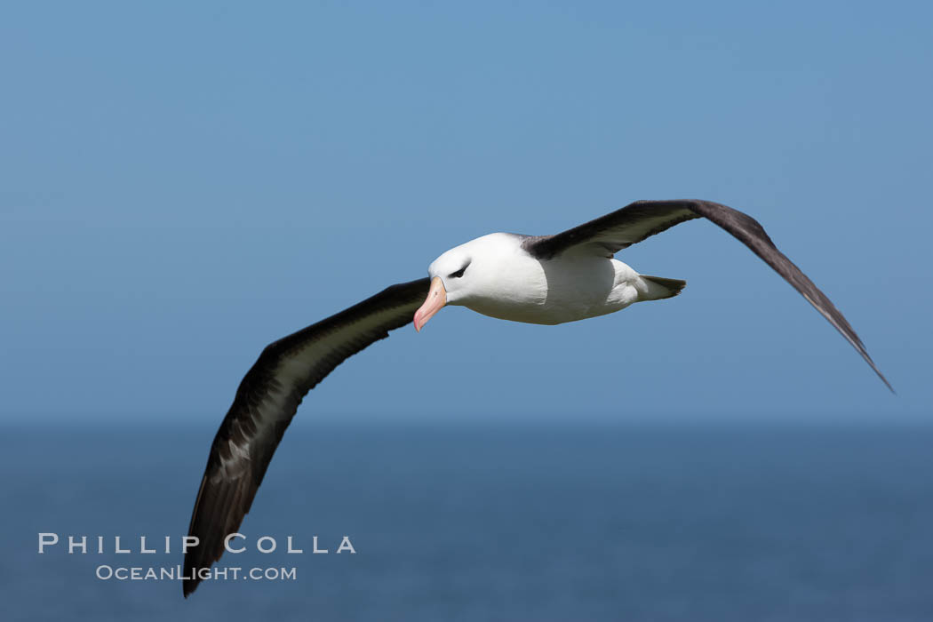 Black-browed albatross soaring in the air, near the breeding colony at Steeple Jason Island. Falkland Islands, United Kingdom, Thalassarche melanophrys, natural history stock photograph, photo id 24239